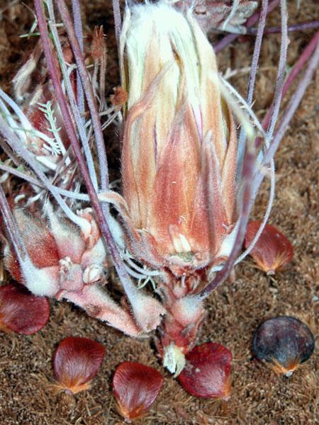 dryandra-fifiloba-inflorescence